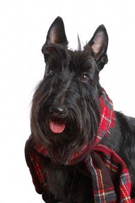 McTavish - Holly's uncle's Scottish Terrier