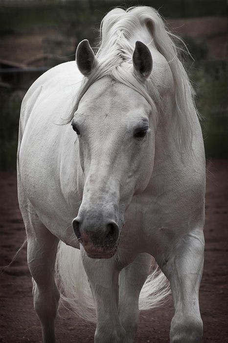 ☀Lipizzan stallions ~ Maestoso II Ambrosia D5881 by Wes and Dotty Weber