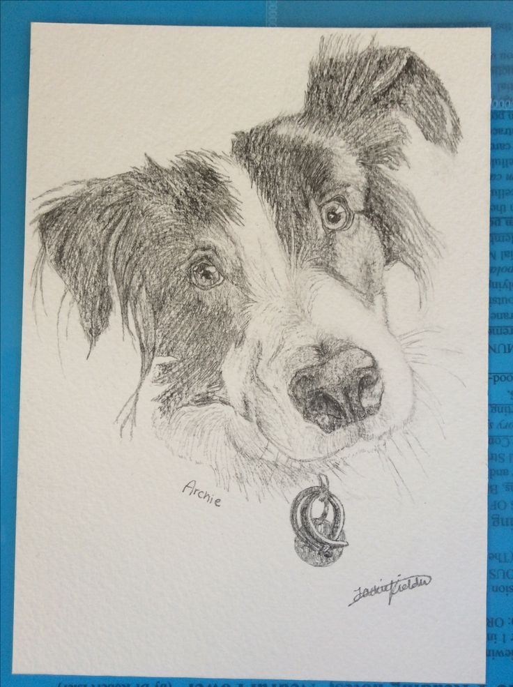 Archie the Border Collie, drawing