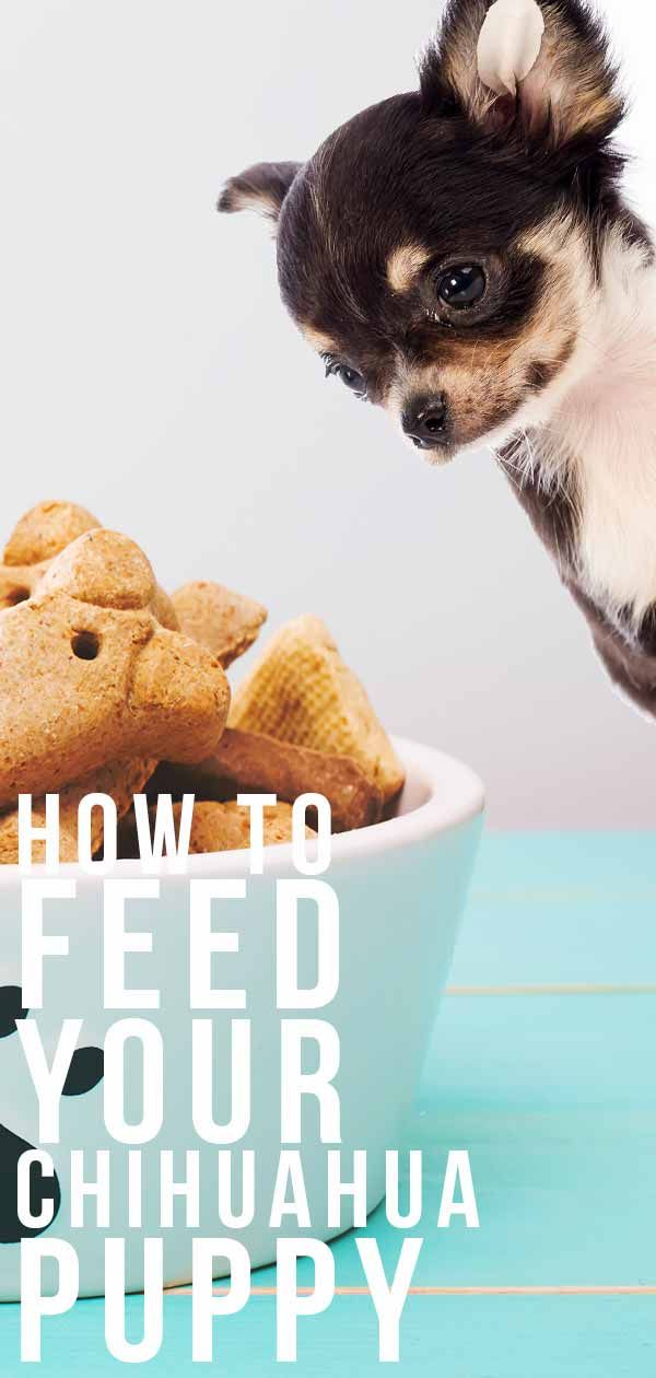 Feeding A Chihuahua Puppy Schedules Routines And Top Tips