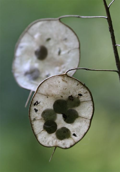 Silver Dollar Plant Seeds  © Hilton Pond Center...great for Fall decor...tends to wander though...