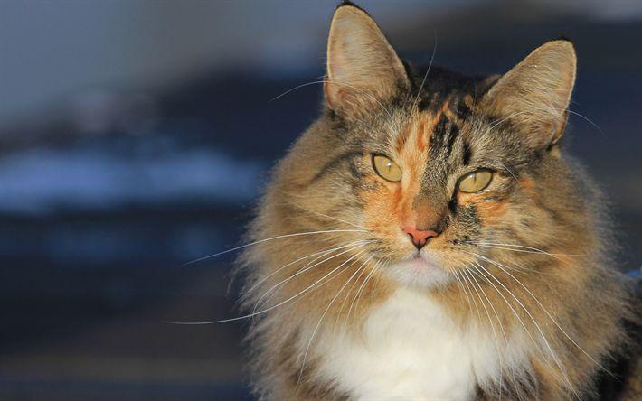 Download wallpapers Norwegian forest cat, furry cat, pets, cat breeds, cute animals