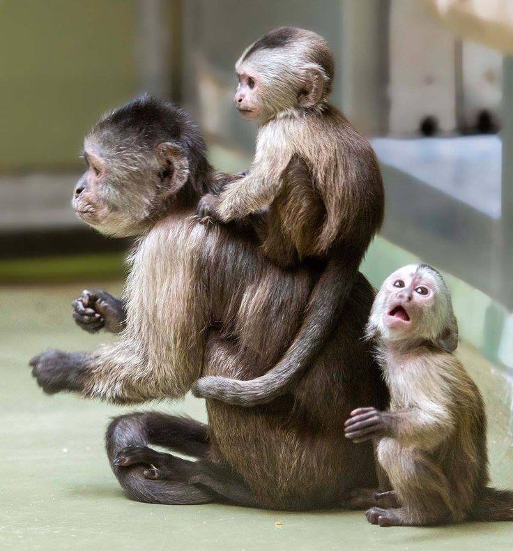 1000+ ideas about Cute Baby Monkey - 97.8KB