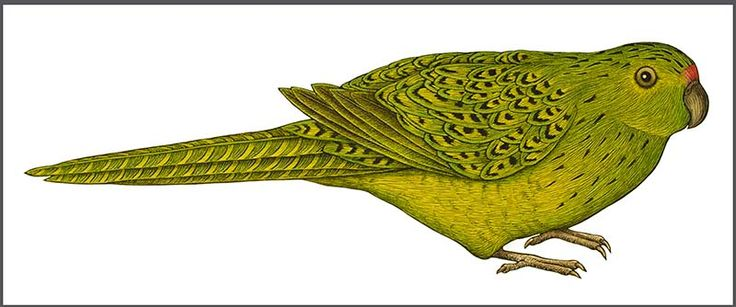 FW141202 Eastern Ground Parrot ed 1/9 2013  hand-coloured lino print on BFK Rives Tan paper  20x38cm