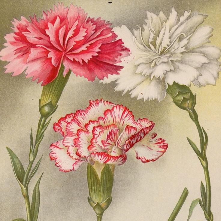 1897 carnations original antique botanical bouquet flower print