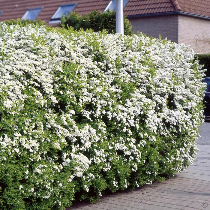 Spierstrauch Arguta Heckenpflanze - 5 heckenpflanzen günstig online kaufen, bestellen Sie schnell und bequem online