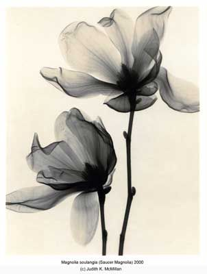Magnolia soulangia (Saucer Magnolia) x-ray images. could make for pretty tattoos!