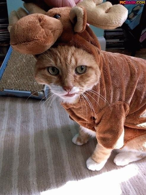 Too funny!Cat Dresses, Funny Things, Moose Cat, Halloween Costumes, Funny Pictures, Cat Costumes, Funny Animal, Moose Costumes, Moo Cat