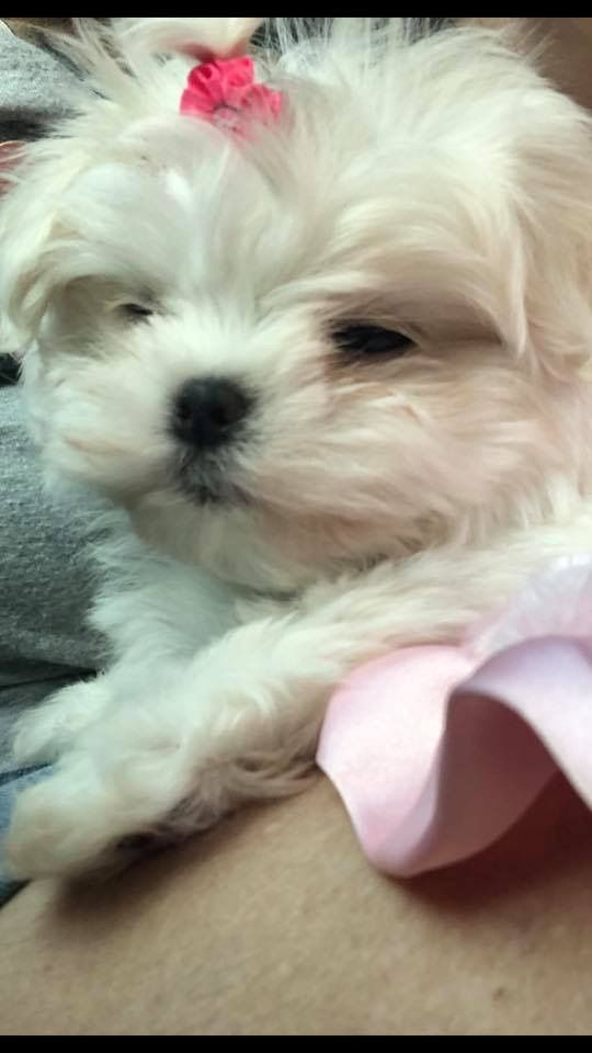 Pin By Starlingale Shelton On Maltese Maltese Puppies Teacup