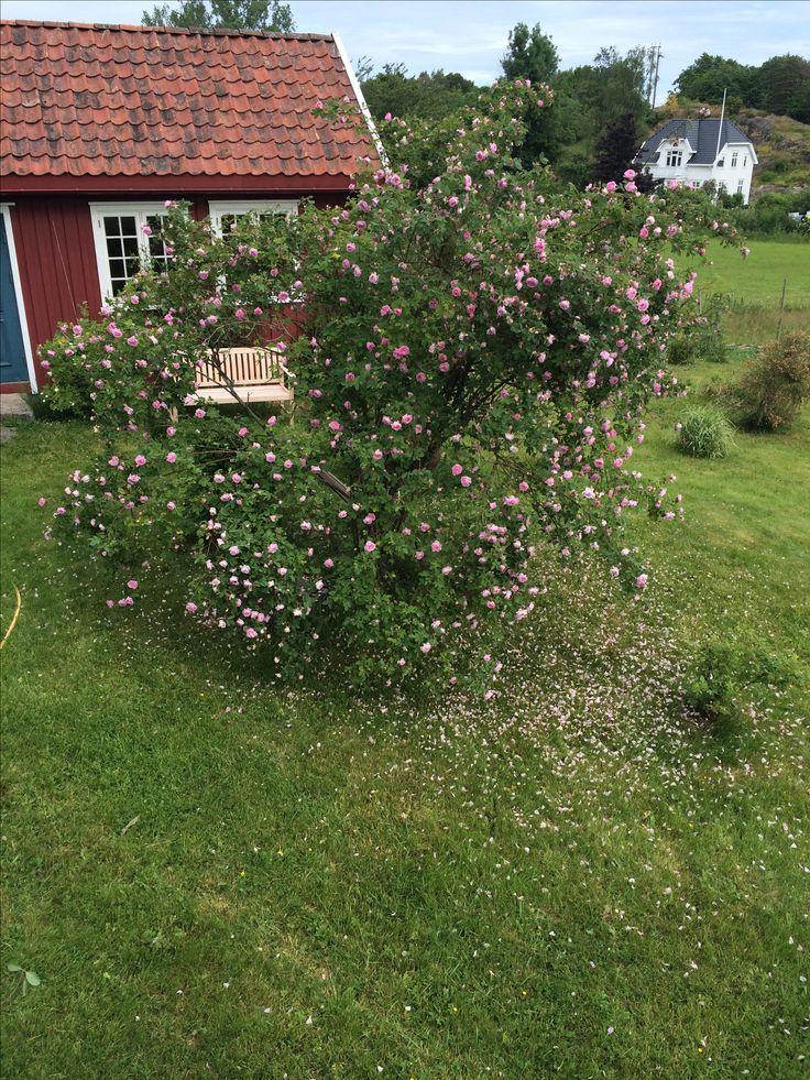 Hurdalrosa i full flor.