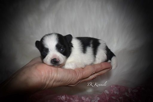Pomeranian Puppy For Sale In Grayson La Usa Adn 68350 On