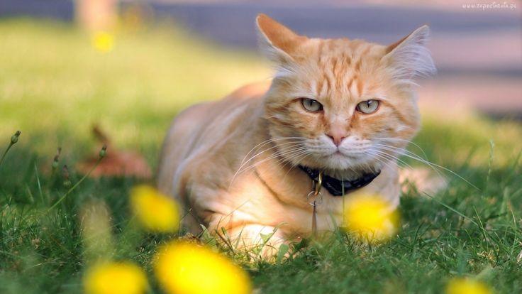 Rudy, Kot, Łąka, Trawa, Żółte, Kwiaty, Obroża