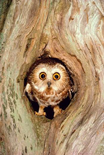 Northern saw-whet owl (Aegolius acadicus) in tree cavity, USA - Art Wolfe/Getty Images