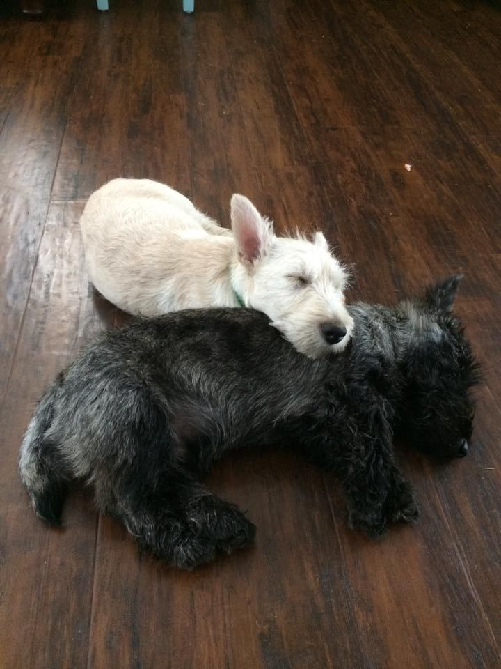 Brindle   wheaten Scottish Terriers snuggling! - Tap the pin for the most adorable pawtastic fur baby apparel! You'll love the dog clothes and cat clothes! <3