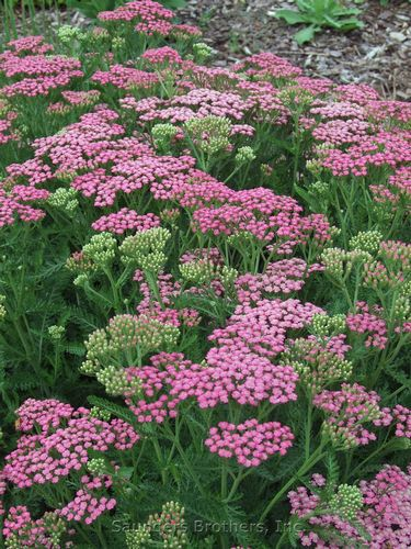 Yarrow - Achillea millefolium  - 'Pink Grapefruit'  -  Picture Colors:  Green and Purple