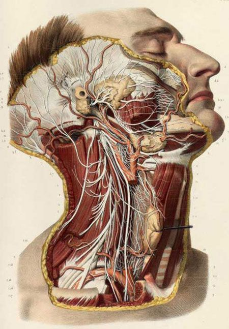I am a mortician and this was the neck area that we studied in school.