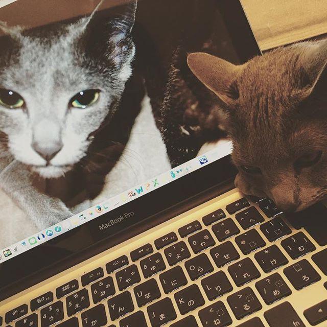 何かと、お邪魔をしてくるんです(๑ ˃̵͈́∀˂̵͈̀ )ʊʊ まぁー、それが可愛いんですが…😆❤️ PCは子猫の時のRaRaですが、この少し前は肺炎にかかり、生か死を言い渡された頃でした。今では体調も崩す事なく元気な5歳💕✨💕 甘えんぼも困る事もあるけど、ずぅーっとこのままでいて欲しいと愛しくも思う愛猫🐱 #夜勤明け #からのバイト #日にち間違い #虚しく帰る #昨日の仕事はハードだったから帰って寝ょ〜😴#しかしビタミンドリンク飲んでしまった #何だか今は目がさえてる #何しよ〜かなぁ #愛猫 #メス #ロシアンブルー #ロシブル #Mac好き #仕事には全く関係ない #たまにのレポートくらい #今日は晴れ #暑い #汗だく #写真と今と全く無関係写真 #猫フォト #写真好き #カメラ女子 #癒された一コマ