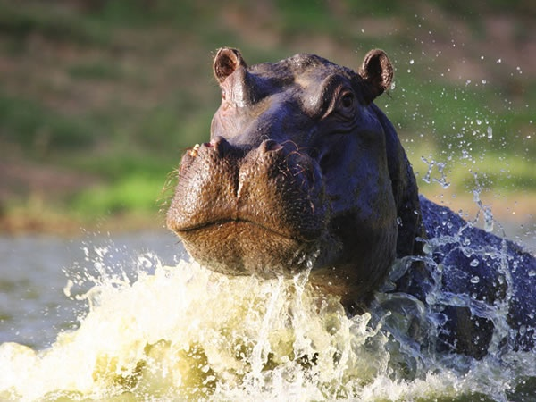 Hippo at the Shamwari Game Reserve, South Africa