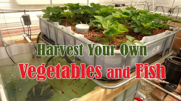 Whether it's meat or fish if you can raise and harvest it yourself with aquaponics supplies, then you've separated yourself in a big way.