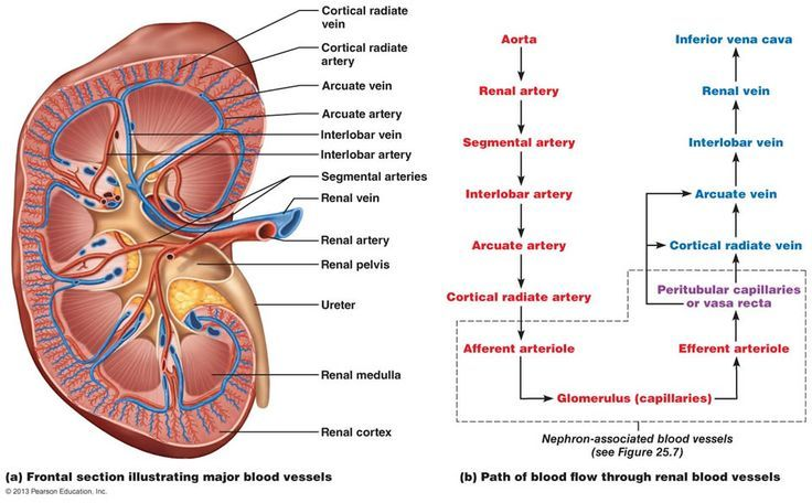 The Urinary System Renal Kidney Anatomy Human Anatomy And Physiology