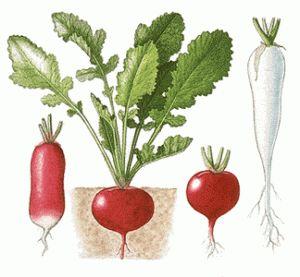 выращивание редиса, выращивание редиса +на продажу, редис, сад и огород, секреты выращивания редиса, технология выращивания редиса