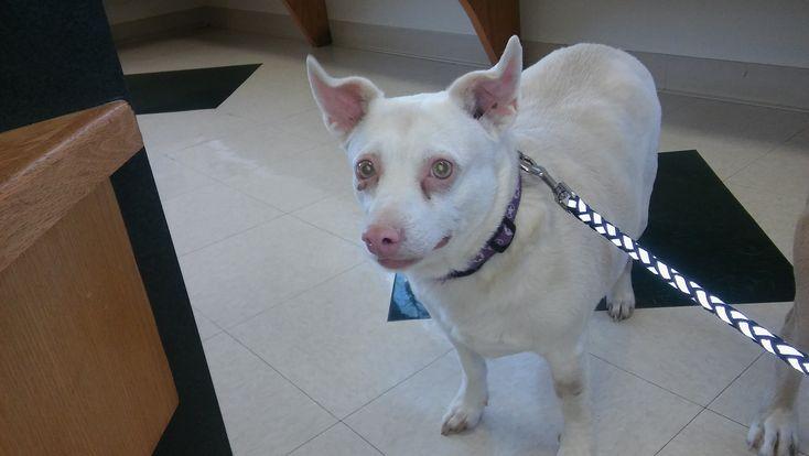 Chi-Corgi dog for Adoption in Thomasville, NC. ADN-747451 on PuppyFinder.com Gender: Male. Age: Adult