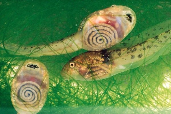 Costa Rican tadpoles with see-through skin, revealing their coiled intestines.