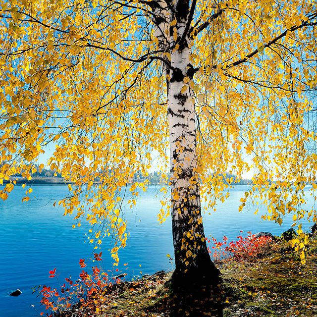Birch tree wearing a yellow dress. End of the summer in Eastern Finland.