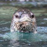 Antarctica Wildlife in Pictures: The Leopard Seal