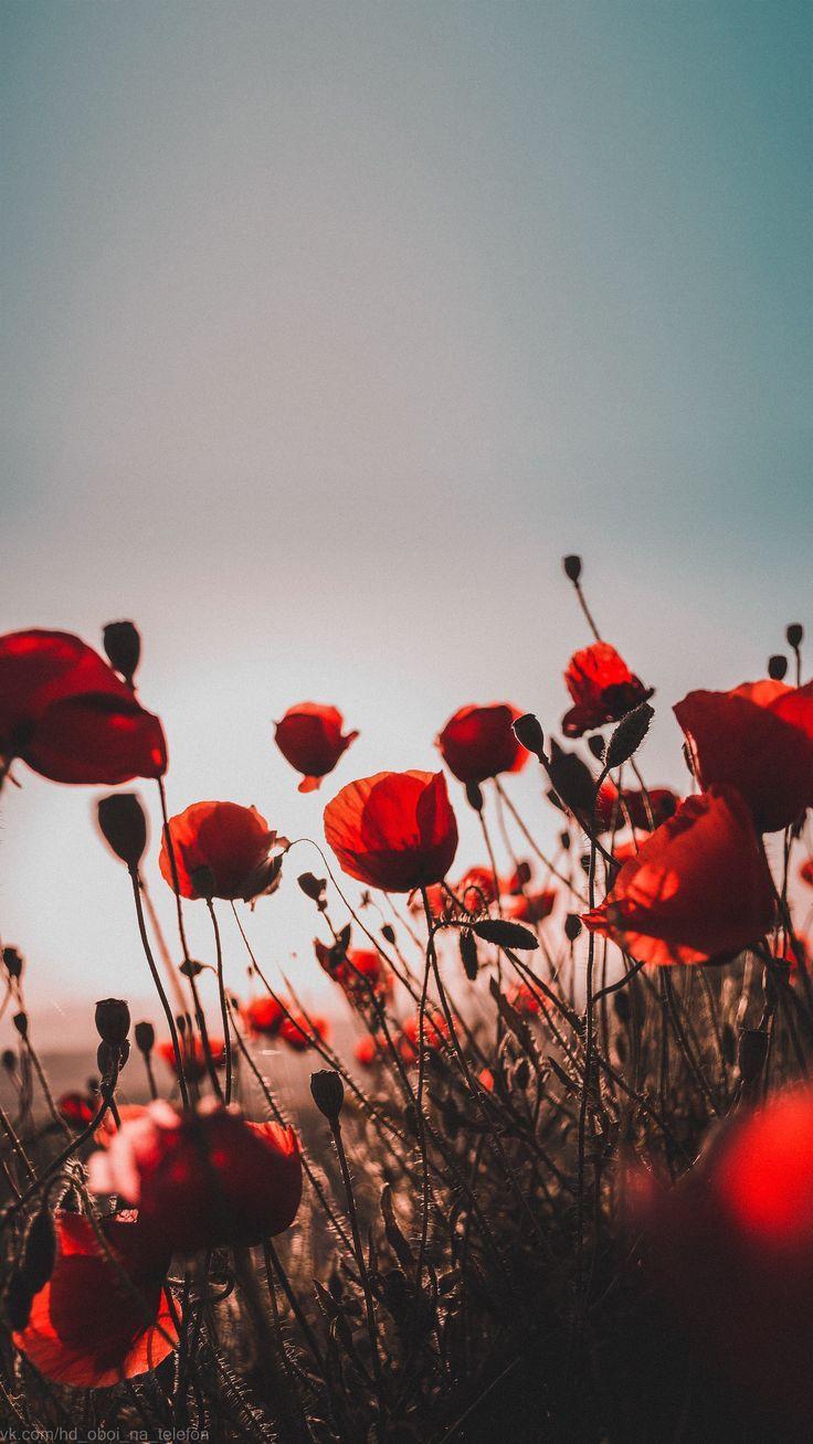 Fond D 39 Ecran Poppy Ciel Rouge Coucher De Soleil Fleur Pour Telephone F L W R Fond D Ecran Rouge Fond D Ecran Telephone Papier Peint A Fleurs