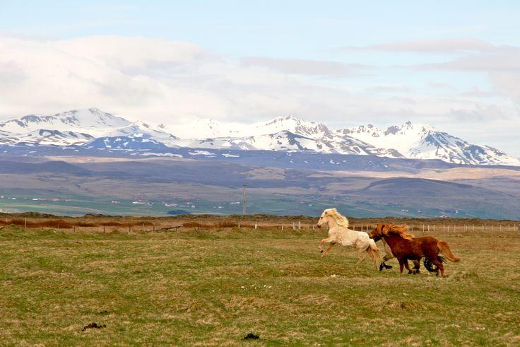 10 expériences à vivre en Islande - Chevaux islandais