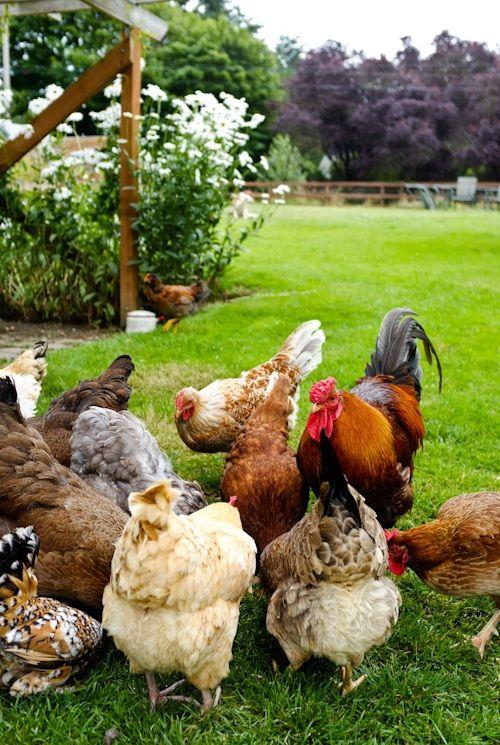 Chickens: