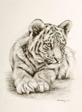 tiger cub drawings