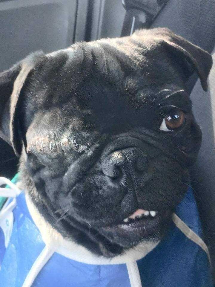 Pug dog for Adoption in Sylmar, CA  ADN-739197 on