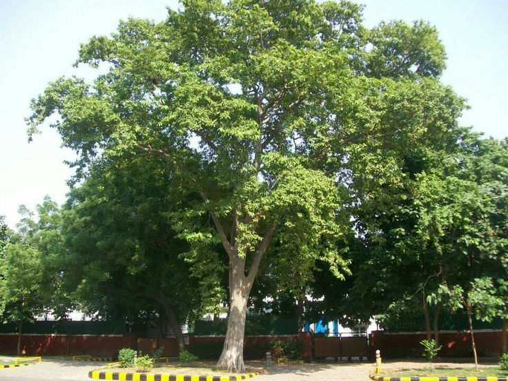 Arjuna tree and its ingredients are one of the most important ingredients in Ayurvedic medicines. It helps to cure Urinary disorders, Heart problems etc.