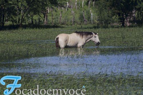 Pantaneiro horse (bogtrotter). Brazil. Aqui também temos o Cavalo Pantaneiro | Notícias de Paramirim e do Mundo