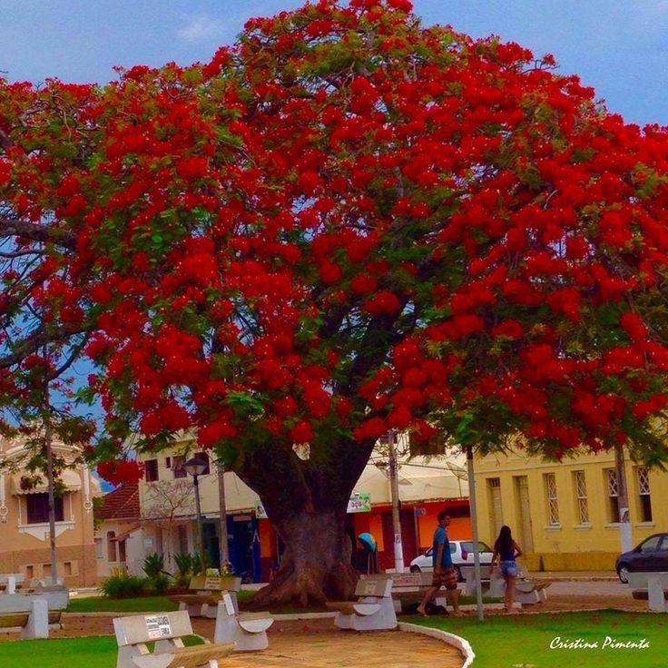 Flamboyant florido em Alpinópolis, estado de Minas Gerais, Brasil.  Fotografia:  Cristina Pimenta Krauss.