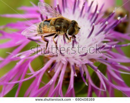 Bee on flower meadow thistles