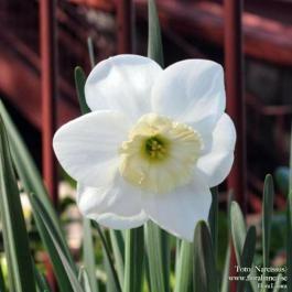 Toto - Narcissus