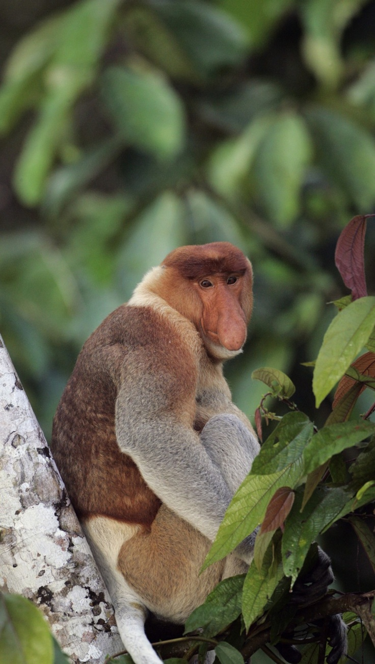 Dad says he can sit in the front row! : Proboscis monkey sits on a tree trunk along the Kinabatangan River in Sukau in Malaysia's state of Sabah on the Borneo island February 19, 2009 via ibtimes. #Monkey #Probiscis_Monkey #ibtimes