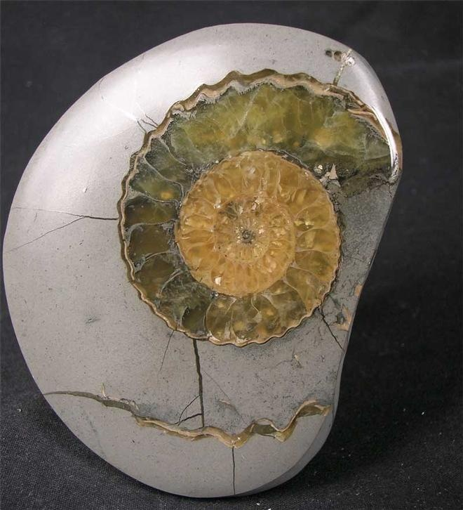 UK fossil - British ammonites - Jurassic era