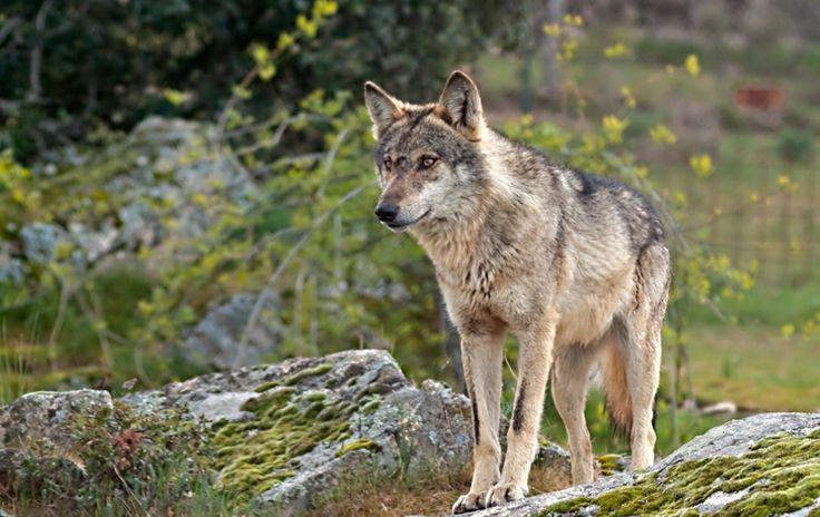 Presentación de una PNL por grupos ecologistas ante Congreso de Diputados en Salamanca para pedir la protección de: el lobo ibérico.