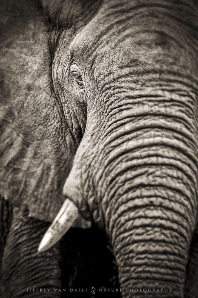 Elephant by Jeffrey Van Daele on 500px