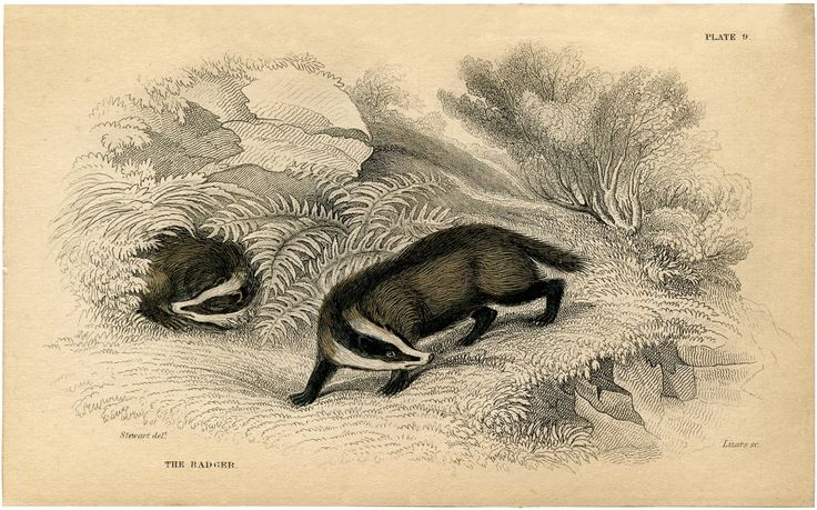Vintage Badger Image! - The Graphics Fairy