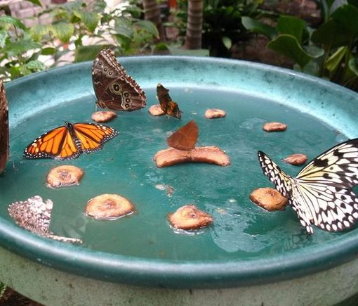 Butterfly Feeder STEPS: 1. Get a deep rimmed heavy dish or tray 2. Add a small amount sugar water solution (1 part sugar and 4 parts water –...