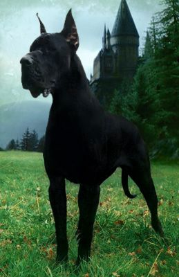 Majestic Black Great Dane