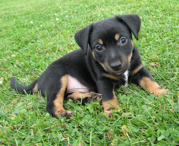 black jack russell - Google Search | PUPPIES ...