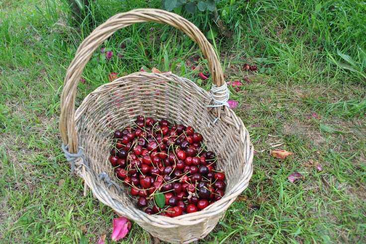 The famous Cherries of Lari, a little village in the countryside of Pisa #Tuscany ..