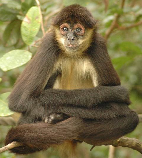 spider monkey in a Buddha pose