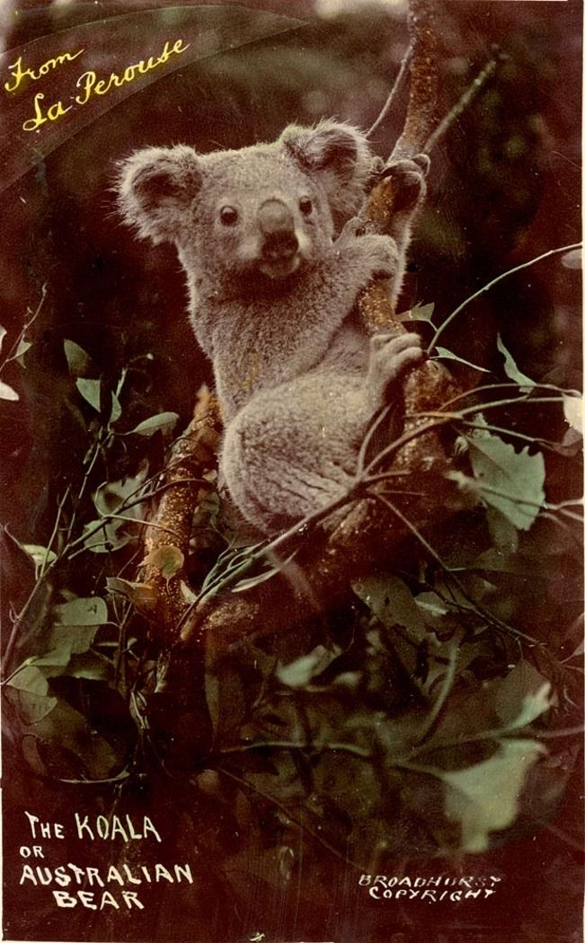 This undated postcard of a koala or 'Australian bear' is from a collection of Broadhurst postcards entitled 'Scenes of La Perouse, N.S.W.', circa 1900-1927. Mitchell Library, State Library of New South Wales: http://www.acmssearch.sl.nsw.gov.au/search/itemDetailPaged.cgi?itemID=72322